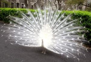 peacockwhite